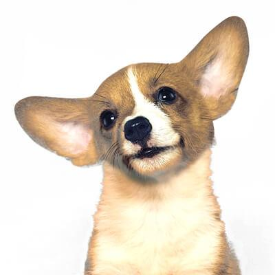 dog tilting its head and illustrating directional hearing